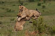 Lion cubs airborne