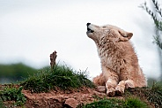 Arctic Wolf Lying Down Howling