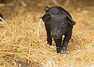 Very Young Rare Large Black Piglet