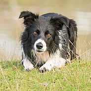 Crouching Border Collie