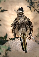 Road Runner Back