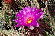 Glory of Texas Cactus Flower