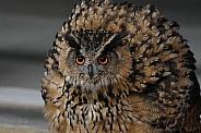 European eagle owl