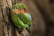 Love Bird Perched On Tree Asleep