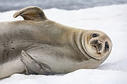 Antarctic Fur Seal - Antarctica