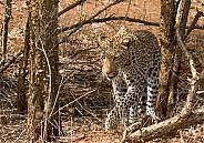 Leopard Kruger National Park SA (Wild)