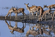 Group of Impala antelopes drinking