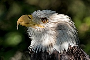 Bald Eagle Side Profile Close Up
