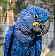 Blue Hyacinth Macaw Parrot