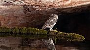 Northern pygmy owl, Glaucidium californicum