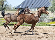 Two young Arabian foals running