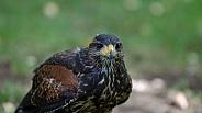 Harris's Hawk (Juvenile)