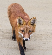Juvenile Red Fox Closeup