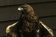 Golden Eagle Looking Left