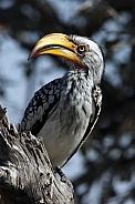 Yellow-billed Hornbill - Botswana