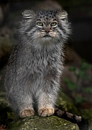 Pallas Cat Standing Upright