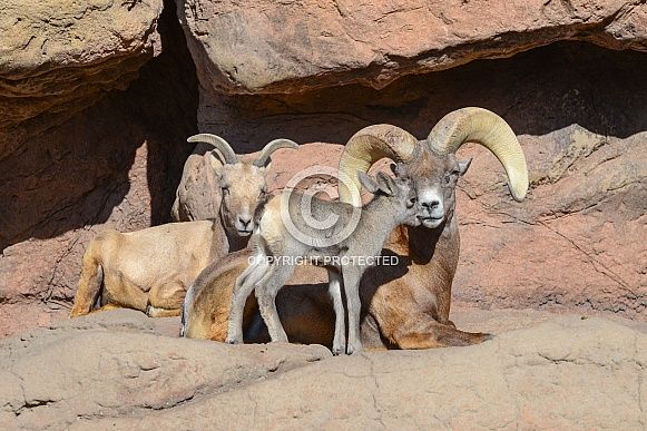 Bighorn Lamb greets his Father