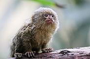 Young pygmee monkey