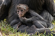 Baby Spider Monkey Scratching Chin