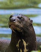 Amazon River Otter