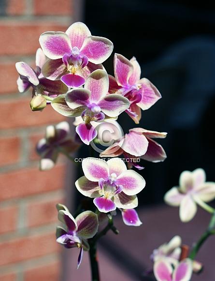 Mini Phalanopsis Orchid