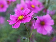Hot Pink Cosmos Flower