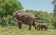 Waiting For Junior. African Elephants