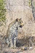 Leopard (Male)