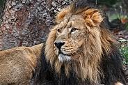 Male Lion Close up