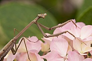 Praying Mantis (wild).