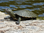 Brisbane Short-necked Turtle