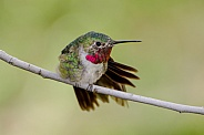 Broad-tailed Hummingbird - Male