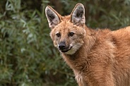 Maned Wolf Close Up
