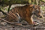 Sumatran Tiger Cub Sitting In Trees