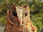 Oriental Bay Owlet