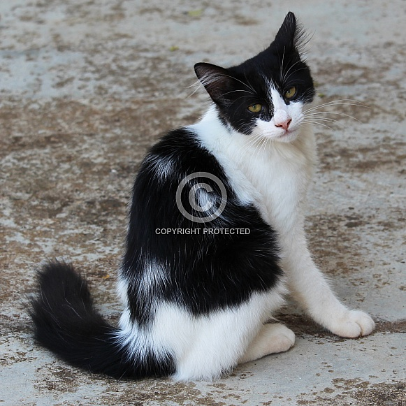 Black And White Young Cat