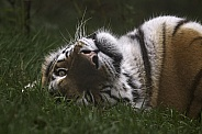 Amur Tiger On Back Looking At Camera