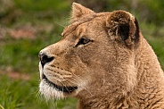 Side Profile African Lioness