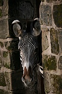 Young Zebra Peeking