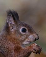 Red Squirrel head shot