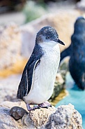 Fairy Penguin 1