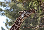 Reticulated Giraffe Eating