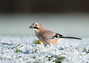 Eurasian Jay in Snow