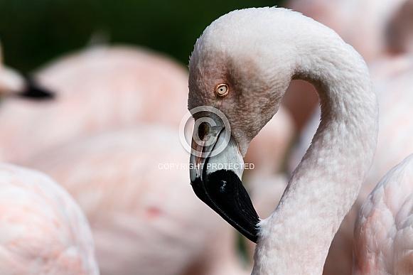 Chilean Flamingo Close up