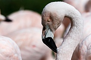 Chilean Flamingo Close up