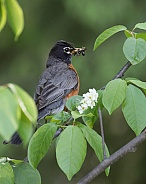 American Robin with a mouthful of insects