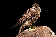 European Kestrel Full Body On Stump Black Background