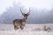 Deer on a frosty morning