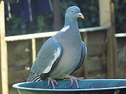 Wood pigeon waiting for food