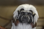 Cotton Top Tamarin Close Up